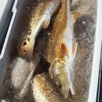 redfish-coller-louisiana